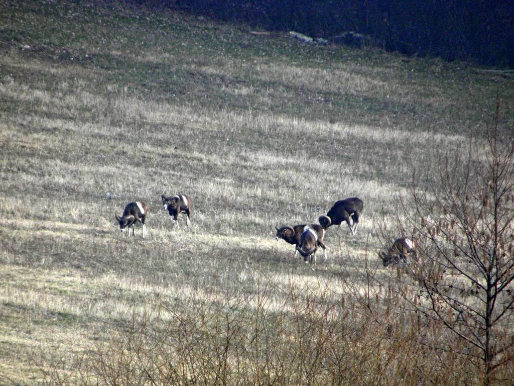 Muflony pod Jakuszową